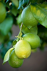 Lemon fruit hanging on the branch